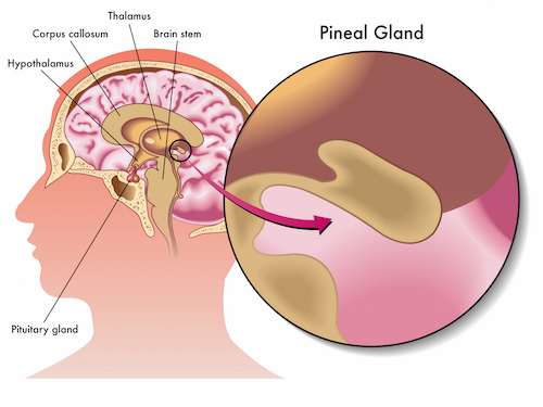 Pineal Gland Image